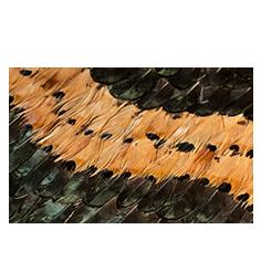 Peacock Pheasant Caramel Wave